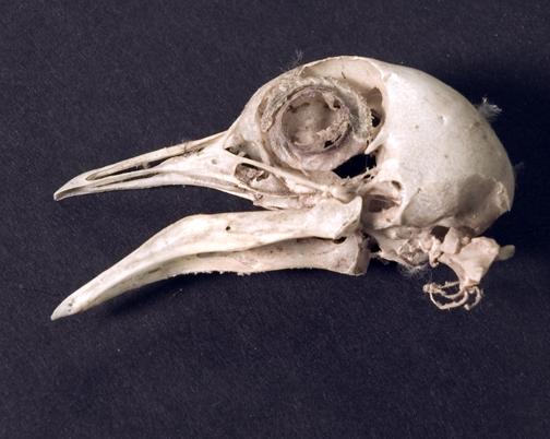 birdskull
