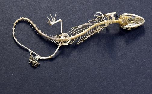 gekko