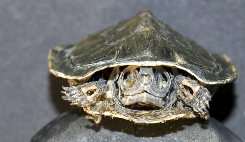 turtleskull